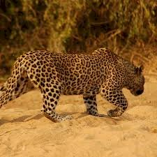 A boy from Mysore village escapes leopard attack bravely